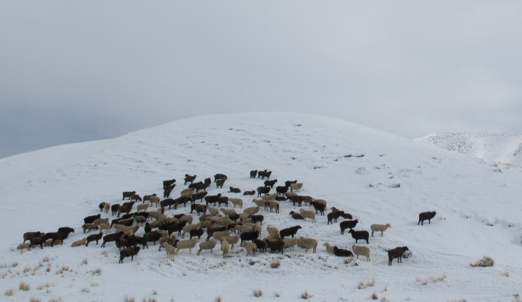Figure 7. A herd on snowy pasture.